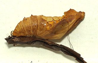 Birdwing - Pupa of Ornithoptera victoriae