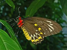 Troides euphorion - female - Cairns Birdwing.-14.JPG
