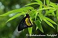 Troides minos 2011 08 01 9999 66 Balakrishnan Valappil (6085470169).jpg