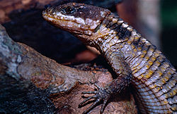 Tropical Girdled Lizard (Cordylus tropidosternum) (14101276386).jpg