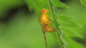 File:Trypeta artemisiae ovipositing - 2012-08-03.ogv