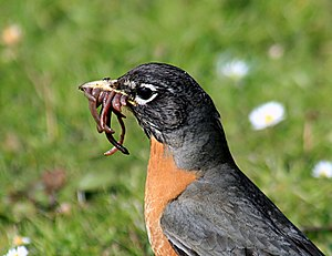 Turdus migratorius with worms
