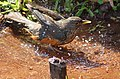 Turdus rufiventris bathing.jpg