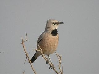 Panders ground jay species of bird