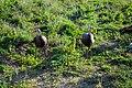 Turkey Birds ABDS-TK-1.jpg