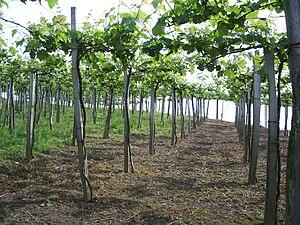 Txakoli - Txakoli vines in the Getaria region