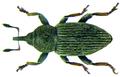 Tychius picirostris (Fabricius, 1787) (8376906368).png