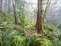 US Spruce RR Spur 5 grade - Siuslaw NF Oregon.jpg