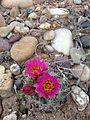 Uinta Basin Hookless Cactus (Sclerocatus wetlandicus) (16797323789).jpg