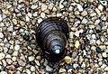 Unidentified Mollusca of Thailand 2a.JPG