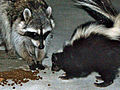 Urban raccoon and skunk.JPG