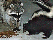 A skunk and raccoon share cat food morsels in a Hollywood, CA back yard