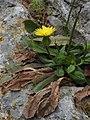 Urospermum picroides RF.jpg