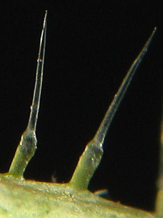 Жгучие волоски на стебле крапивы двудомной крупным планом