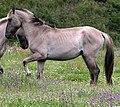 Vale de Zebro Sorraia Stallions.JPG