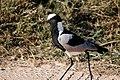 Vanellus armatus -Kruger National Park, South Africa-8.jpg