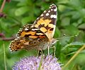 Vanessa cardui. Painted Lady. u-s - Flickr - gailhampshire.jpg