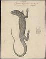 Varanus bengalensis - 1700-1880 - Print - Iconographia Zoologica - Special Collections University of Amsterdam - UBA01 IZ12400035.tif