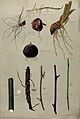 Various stem forms, including bulbs and roots. Watercolour b Wellcome V0043499.jpg