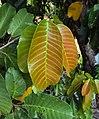 Vateria indica 50.JPG