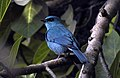 Verditer Flycatcher Eumyias thalassinus DSCN6459 (2).jpg