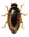 Veronicobius aucklandiae.jpg