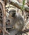 Vervet Monkeys (Chlorocebus pygerythrus) female and young ... (46233346225).jpg