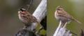 Vierspurv hann og hunn 2.png