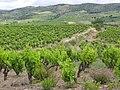 Vignes des Corbières.jpg
