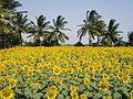 Village sunflower.jpg