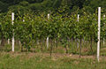 Vine with espalier.jpg