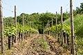 Vines at Tilia Wines (9010878335).jpg