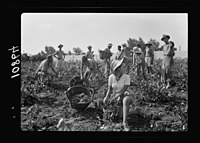 Vintage activities at Richon-le-Zion, Aug. 1939. Group of grape pickers (showing Supernumerary Police) LOC matpc.19756.jpg