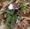 Viola eizanensis s3.jpg