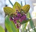 Virginia Bluebell Mertensia virginica Unopened Flowers 2256px.jpg