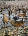 Virginia rail From The Crossley ID Guide Eastern Birds.jpg
