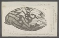 Voluta diadema - - Print - Iconographia Zoologica - Special Collections University of Amsterdam - UBAINV0274 087 03 0004.tif