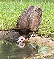 Vulture who drinks water in a bath Gambia.jpg