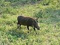 Warthog (394309852).jpg