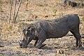 Warthog Feeding.jpg