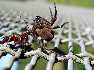 Spider wasp - Wasp dragging a spider to its nest