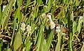Wattled Jacana (Jacana jacana) juvenile.jpg