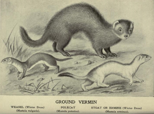 Weasel, stoat & fitch