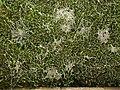Webby hedge, Clun - geograph.org.uk - 1110326.jpg