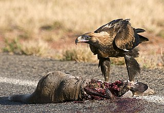 Carrion Dead and decaying flesh of an animal
