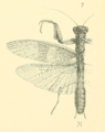 Werner 1907 Orthoptera Blattaeformia Taf III Fig 7.png