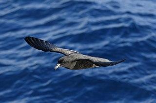 Petrel seabird