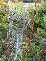 Wet Spider Web (4984628317).jpg