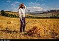 Wheat fields in Iran 96 6.jpg