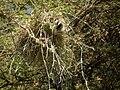 White-browed Sparrow-weaver Plocepasser mahali in Tanzania 1750 Nevit.jpg